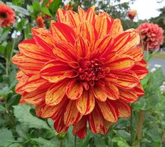 Lovely variegated Dahlia and a great post on the color ORANGE. Read more