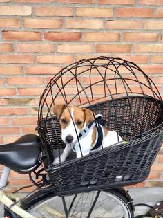 Jack Russell Puppies Nice safe way to bike riding with a furry friend. Fox Terriers, Bull Terrier Dog, Chien Jack Russel, Jack Russell Terrier, Jack Russells, White Terrier, Family Dogs, Training Your Dog, Mans Best Friend