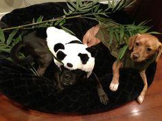Dog Halloween Costume Contest Panda and Bamboo