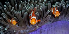 Photography - three clown anemonefish with parasites in their mouths? A competition celebrates the scenery under the sea. - WSJ - Curated by: John McLaughlin, Master Day Trading Coach     https://www.linkedin.com/in/daytradingcoach    http://www.DayTradersWin.com     https://www.facebook.com/DayTradingStocks    https://twitter.com/john_stockcoach    https://plus.google.com/u/0/+JohnMcLaughlinStockCoach