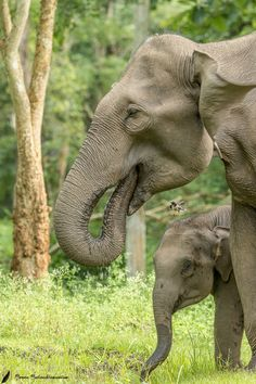"""gejianxin: """" The close Bond between the calf and the mother The elephant calf is so vulnerable and dependent on its mother. Hope this picture captures the intensity of the relationship. please view more of my work at http://ift.tt/1SB4S9B """""""