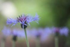 Delicate cornflower ..