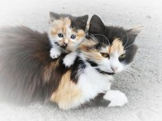 Like mother like daughter. Even though the kitten has the spitting image of her mom, their personalities are completely different according to Fioleetka.