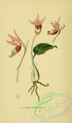 orchids-05286 - calypso bulbosa [2152x3682]