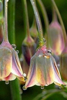 Perhaps they are opalescent -- or maybe the photo is tarted up. Nectaroscordum siculum with drops of water. I still like them, though.