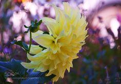Dahlia by kimeee. Please Like http://fb.me/go4photos and Follow @go4fotos Thank You. :-)