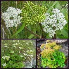 Buy Ligusticum scoticum (Scotch Lovage): Garden Plants Direct from PlantsToPlant Tiny White Flowers, Pink Flowers, Plants To Attract Bees, Chelsea 2016, Bee Friendly Plants, Herbaceous Border, Ornamental Grasses, Green Leaves, Scotch