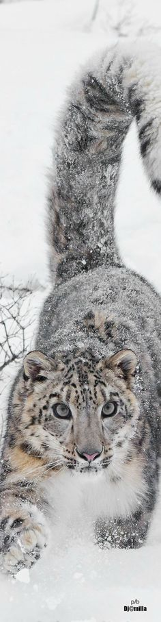 Look at this beauty! #SnowLeopard