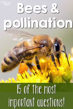 Bees and pollination - the 15 most importan questions to ask! (Especially Tips on how to teach children about the topic, and help save the bees! Combine reading, science, biology and crafts with two different projects!