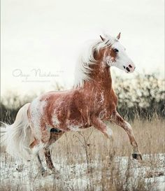 Pretty colored Appaloosa horse running in the snow or white sand, not sure which.