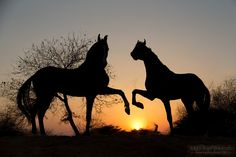 Marwari stallions - Marwari stallion at sunset in India
