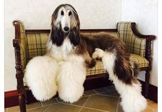 Looks like this Afghan Hound is posing on this bench... and looks amazing!