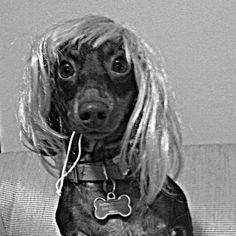 Happy Halloweeenie! #dachshund #dachshundsofinstagram #weeniedog #wig #october #halloween #halloweenie #girlygirl #diva #dressup #lizzy #doxie #dog #puppy #confidence #workitgirl
