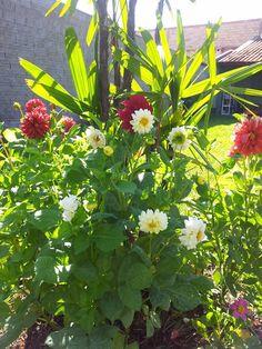 dálias flores