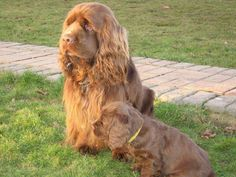 Sussex spaniel, deep and wide chest, combined with short legs and a long body, its rolling gait. This whole movements are measured. Sussex spaniel cannot let a person feel awkward. Clumber Spaniel, Spaniels, Spaniel Breeds, Spaniel Puppies, Dog Breeds, Sussex Spaniel, Animals And Pets, Cute Animals, Different Dogs