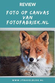 Van Fotofabriek.nl mocht ik een foto op canvas uitkiezen. Ik koos voor een foto van een vos die ik in de Amsterdamse Waterleidingduinen heb gemaakt. Mijn review over fotofabriek.nl lees je op mijn website. Lees je mee en doe inspiratie op. #review #fotofabriek #vos #jtravelblog #jtravel