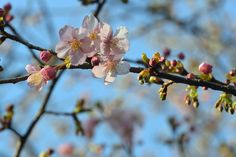 #cherry blossoms, #beautiful, #pink, #spring, #bud,
