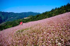 Đến tour du lịch Hà Giang vào mùa hoa tam giác mạch nở rộ du khách mới thấy được hết vẻ đẹp của Hà Giang với sự bao la, hùng vĩ cũng không kém sự lãng mạn.