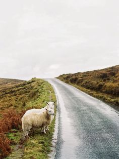 """""""you should come to wales,"""" he said. i gave him a blank look. """"there's quite a lot of sheep."""""""
