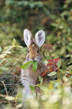 Snowshoe hare feeds on green willow leaves, summer, Denali National Park, Alaska by Patrick J. Beautiful Creatures, Animals Beautiful, Cute Animals, Snowshoe Hare, Tier Fotos, Mundo Animal, All Gods Creatures, Cute Bunny, Hunny Bunny