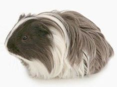 That awkward moment when a guinea pig has better hair than you - read about the different breeds of guinea pigs in the pin