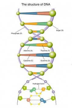 Genetics is a science, which deals with the study and understanding of heredity, evolution, development, ecology, molecular biology and forensic science.