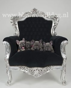 Blue French bulldog puppies on a chair Merle French Bulldog, Blue French Bulldog Puppies, White French Bulldogs, French Bulldog Facts, Puppies And Kitties, Toy Puppies, Blue Frenchie, Bulldog Pics, Miniature Schnauzer Puppies