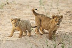 Ain't these lion cubs the cutest?