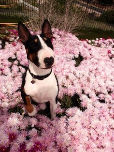 Love the color combination of this terrier! it's not a wiener but I've wanted a bull terrier my whole life!