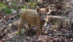 Feral Hogs Root Through History. Feral swine, first introduced by some of the earliest European explorers to America, have been roaming Florida for the past 500 years, and are now present in at least 35 states.…