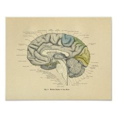Shop Vintage Frohse Anatomical Brain Median Surface Poster created by AcupunctureProducts. Medical Illustration, Plant Illustration, Botanical Illustration, Medical Posters, Medical Art, Vintage Wall Art, Vintage Walls, Custom Posters, Vintage Posters