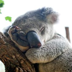 Koala - Koala Funny - Koala Koala Funny Funny Koala meme Koala The post Koala appeared first on Gag Dad. The post Koala appeared first on Gag Dad. Happy Animals, Animals And Pets, Cute Animals, Funny Animals, Koala Meme, Funny Koala, Baby Koala, Koala Bears, Fuzzy Wuzzy