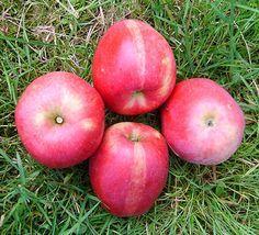 Ihr Obstbaum-Shop! Alte Obstsorten - Alte Apfelsorten - www.alte-obstsorten-online.de - Apfelbaum, Apfel 'Feuerroter Taubenapfel' - alte Apfelsorte!