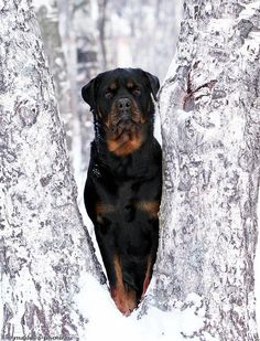 my rottie is my 'other' true love:)