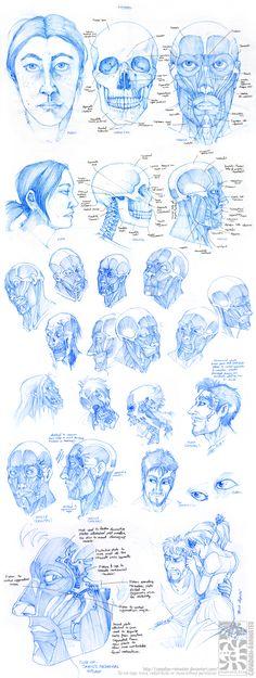Anatomy - Facial Muscles by Canadian-Rainwater.deviantart.com on @deviantART