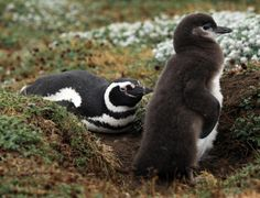 Oh no! Argentina's Magellanic penguin chicks are being killed by global warming.