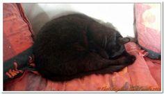 Chats Angevins Et Hélios, sauvé d'une cage de trappage chez un particulier, chaton, presque mourant de faim et de soif. Pot de colle. #PerleNoire