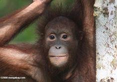 Panda vs. orangutans: With native species at risk, Malaysia's panda bear project a boondoggle  mongabay.com   July 20, 2012
