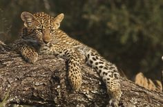 Cub in tree 2 by Gary Parker Photos, via Flickr