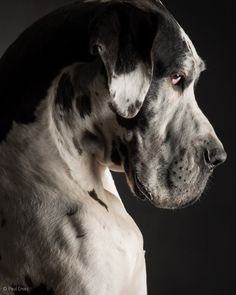 I want him to be my cuddle puppy#Great #Dane
