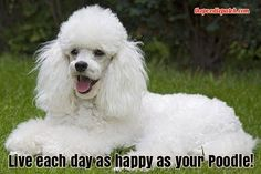 LIVE EACH DAY AS HAPPY AS YOUR POODLE!!!