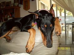 My Athena, Love my baby!  ( Dobermans)