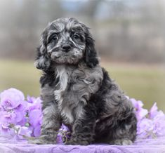 Lancaster Puppies has your Cockapoo puppy. Find your Cockapoo for sale. We're not a Cockapoo rescue. We pair Cockapoo breeders with you!