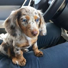 Dachshunds& Dachshund Source by dachshund__addict The post Dachshund appeared first on Jim Norman Dogs. Dapple Dachshund Puppy, Funny Dachshund, Daschund, Dapple Dachshund Miniature, Cream Dachshund, Long Haired Dachshund, Weenie Dogs, Pet Dogs, Beautiful Dogs
