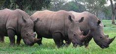 The Black Rhinos on Zziwa Rhino Sanctuary, Uganda, a few of the surviving species in Uganda
