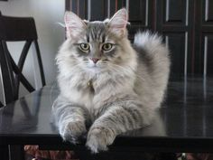 Siberian Forest Cat Siberian Forest Cats Kittens Available Pelauts. I Love Cats, Crazy Cats, Cool Cats, Siberian Forest Cat, Siberian Cat, Pretty Cats, Beautiful Cats, Herding Cats, Cat Allergies