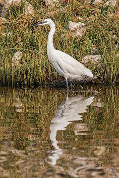 Little Egret, Chobe National Park, Botswana