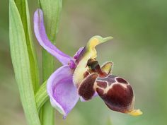 Bee-Orchid: Ophrys scolopax