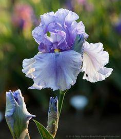 Cavewoman Iris(Presby Memorial Gardens in Upper Montclair, New Jersey) by Patty Hankins, Fine Art Floral Photographer.BeautifulFlowerPictures.com
