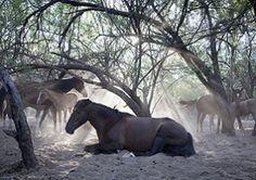 Arizona Republic - June 17, 2012 - Future of Salt River wild-horse herd unclear